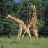 giraffeparty